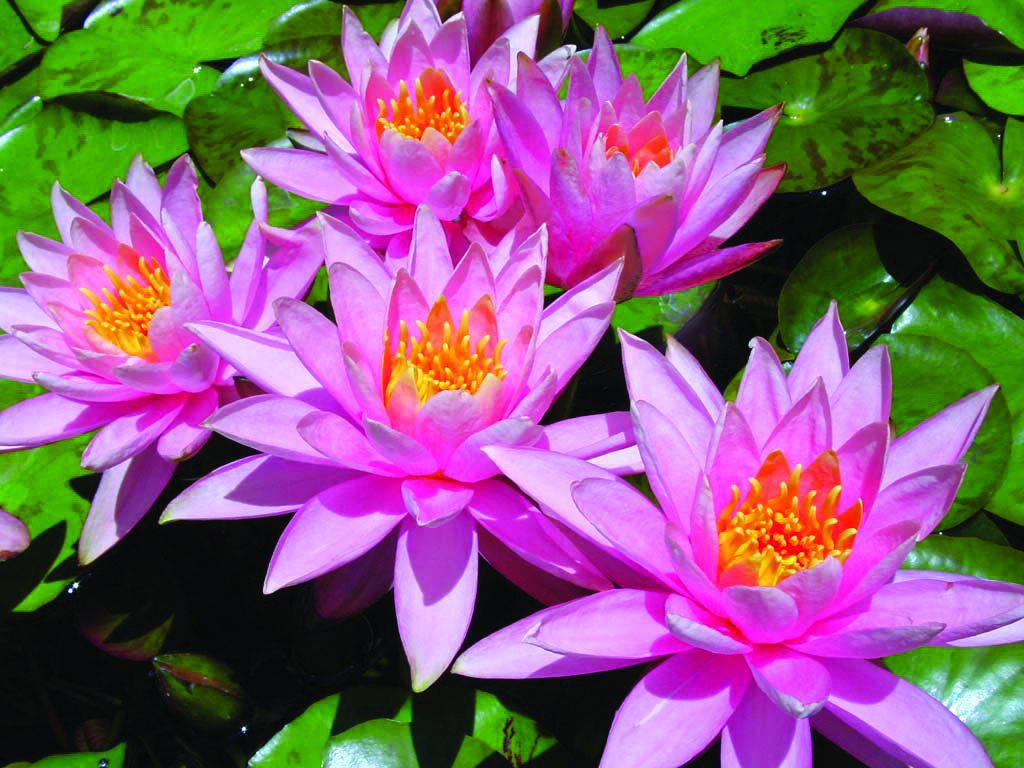 Pink-Water-Lily-Flowers